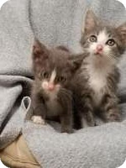 Domestic Mediumhair Kitten for adoption in DuQuoin, Illinois - Danny and Sandra Dee
