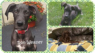 Great Dane Puppy for adoption in DOVER, Ohio - Ron Weasley