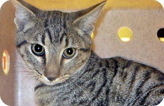 Domestic Shorthair Kitten for adoption in Wildomar, California - 317213