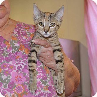 Domestic Shorthair Kitten for adoption in Sunrise Beach, Missouri - Wynonna