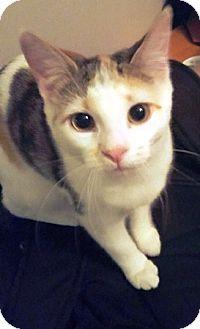 Calico Kitten for adoption in Lee's Summit, Missouri - Arya