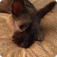 Adopt A Pet :: Dexter - La Verne, CA