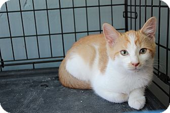 Domestic Shorthair Kitten for adoption in Avon, New York - Truffles