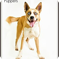Adopt A Pet :: Puppers - Voorhees, NJ