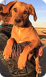 Hound (Unknown Type)/Dachshund Mix Puppy for adoption in Littleton, Colorado - LUCY's Pups - Boys