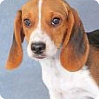 Adopt A Pet :: Doodle - Encinitas, CA