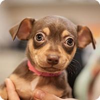 Adopt A Pet :: Clarabelle - Dallas, TX