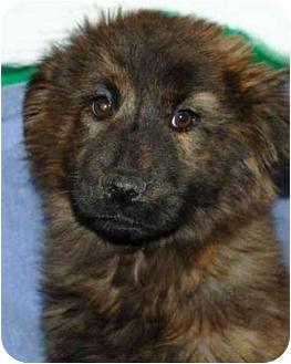 lanie   Adopted Puppy   Stafford, VA   Labrador Retriever/Chow Chow ...