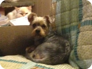 Yorkie, Yorkshire Terrier Dog for adoption in Hazard, Kentucky - Junie B