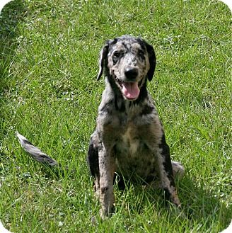 Catahoula Leopard Dog Mix Puppy for adoption in Lufkin, Texas - Callie