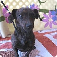Adopt A Pet :: Daisy - Tucson, AZ