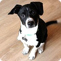 Adopt A Pet :: Gypsy - Austin, TX
