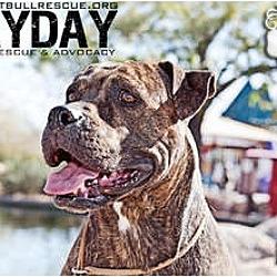 Photo 2 - American Pit Bull Terrier/Boxer Mix Dog for adoption in Phoenix, Arizona - Lola