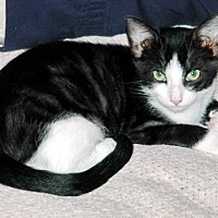 Domestic Shorthair Cat for adoption in Alvin, Texas - Cassidy