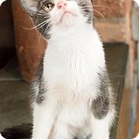 Adopt A Pet :: Shaq - Chicago, IL