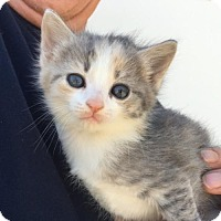 Adopt A Pet :: Lacey - Washington, DC