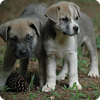 Adopt A Pet :: Boots - Lawrenceville, GA