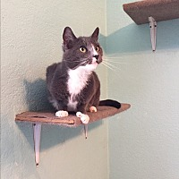 Domestic Shorthair Cat for adoption in Walnut Creek, California - Pandora