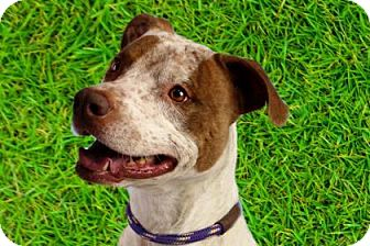 German Shorthaired Pointer/American Pit Bull Terrier Mix Dog for adoption in Palm Springs, California - PEPPER