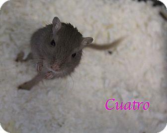 Gerbil for adoption in Bradenton, Florida - Cuatro