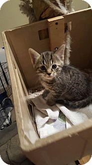 Domestic Shorthair Kitten for adoption in Florence, Kentucky - Alex