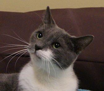 Domestic Shorthair Cat for adoption in Monroe, Michigan - Elle