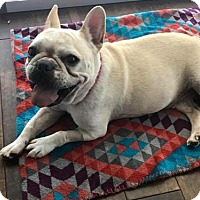 French Bulldog Dog for adoption in Katy, Texas - Apple