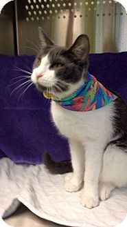 Domestic Shorthair Cat for adoption in THORNHILL, Ontario - Iggy