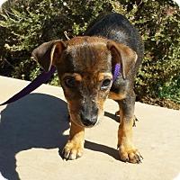 Adopt A Pet :: Sweet LITTLE Soprano - Albuquerque, NM