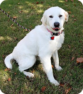 Great Pyrenees Dog for adoption in Tulsa, Oklahoma - Sunshine  *Adopted!