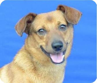 Patterdale Terrier (Fell Terrier) Mix Dog for adoption in Tenafly, New Jersey - Red