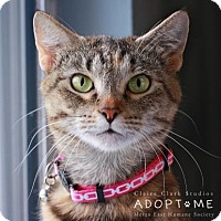 Domestic Shorthair Cat for adoption in Edwardsville, Illinois - Lucy