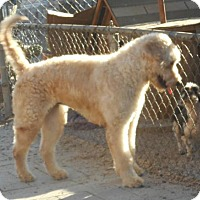 Adopt A Pet :: Chole - Yucaipa, CA