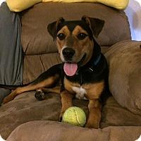 Beagle/Australian Shepherd Mix Dog for adoption in Basehor, Kansas - Buster