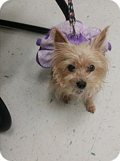 Yorkie, Yorkshire Terrier Dog for adoption in West Palm Beach, Florida - Annabelle