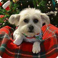 Adopt A Pet :: Fluffy - Lebanon, MO