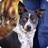 Adopt A Pet :: Shea - Joliet, IL
