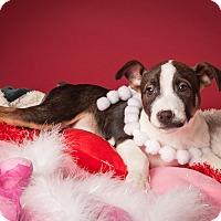 Adopt A Pet :: Sam-Wise - Dallas, TX