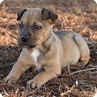 Adopt A Pet :: Wolf - oklahoma city, OK