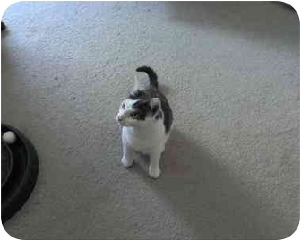Domestic Shorthair Cat for adoption in Chattanooga, Tennessee - Rachel