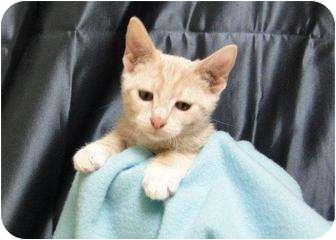 Domestic Shorthair Kitten for adoption in Orlando, Florida - Eddie