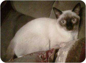 Siamese Kitten for adoption in Franklin, North Carolina - Spencer