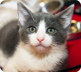 Domestic Shorthair Kitten for adoption in Irvine, California - Mr. Rogers