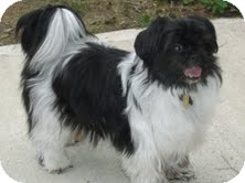 Shih Tzu/Papillon Mix Dog for adoption in Shawnee Mission, Kansas - Tessa Mae