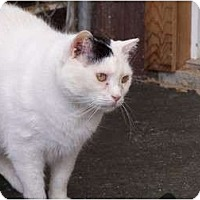 Domestic Shorthair Cat for adoption in Quilcene, Washington - Chevron