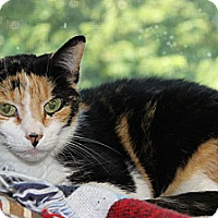 Adopt A Pet :: Calico - Secaucus, NJ