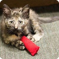Adopt A Pet :: Savita - Chicago, IL