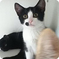 Adopt A Pet :: Felix - Caistor Centre, ON