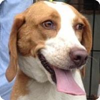 Adopt A Pet :: Perci - Canoga Park, CA