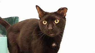 Domestic Shorthair Cat for adoption in Westbury, New York - Onyx